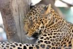 leopard hugging tree
