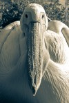 great white pelican closeup