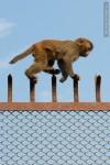 monkey walking on fence
