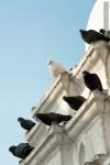 white pigeon black pigeons